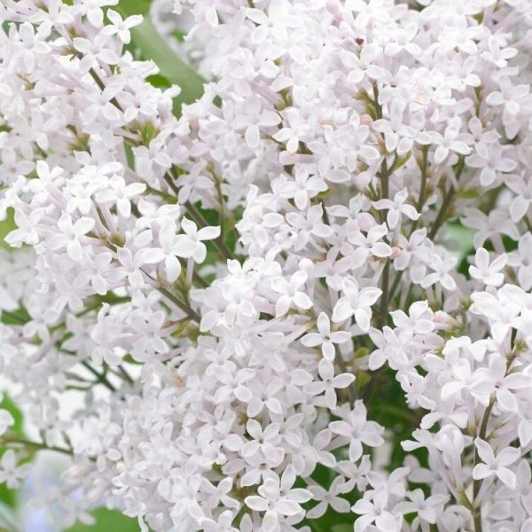 Syringa 'Flowerfesta White'