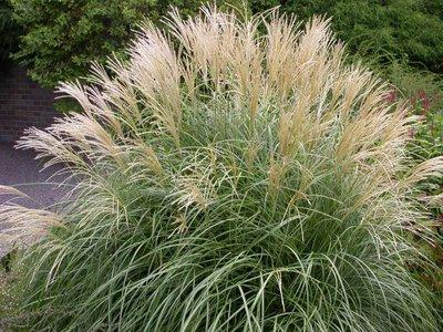 Miscanthus sinensis 'Adagio' (Chinese Silver Grass)