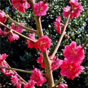 Prunus persica 'Melred'