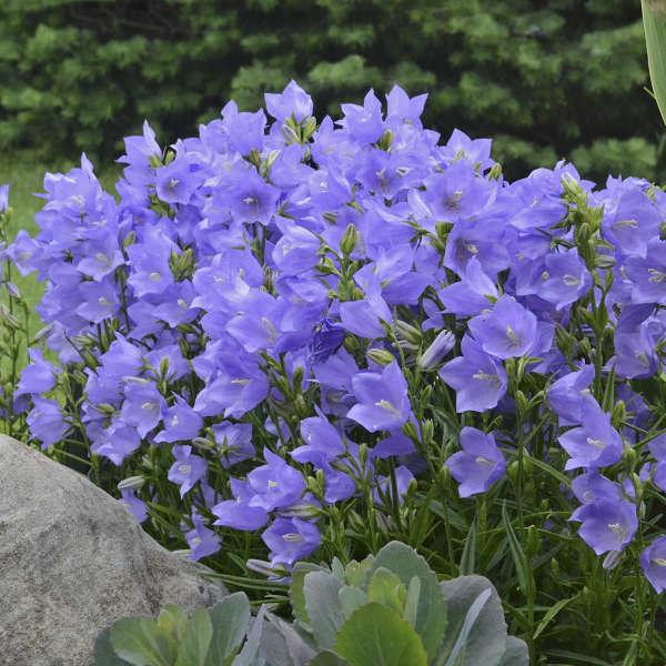 Campanula persicifolia 'Takion Blue' 2