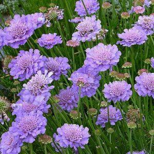 Scabiosa 'Butterfly Blue'