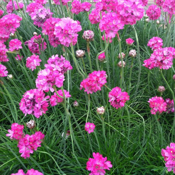 Armeria mar. 'Splendens'