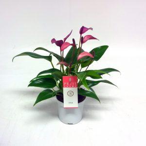 Anthurium royal zizou purple