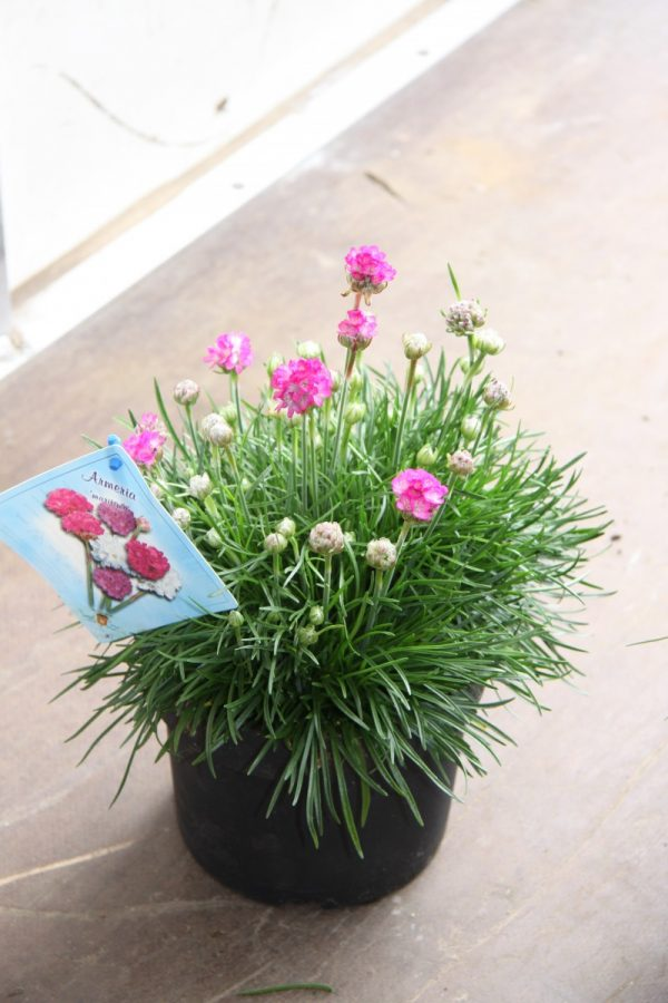 Armeria mar.splendens
