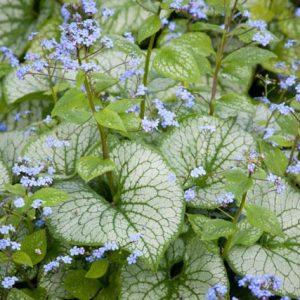 Brunnera macrophylla 'Jack Frost' 2