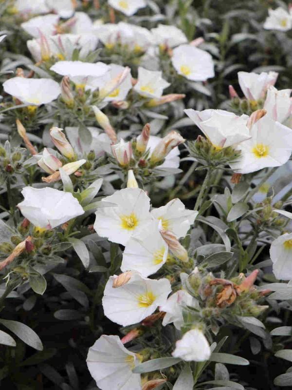 Convolvulus cneorum 'White Sensation'2