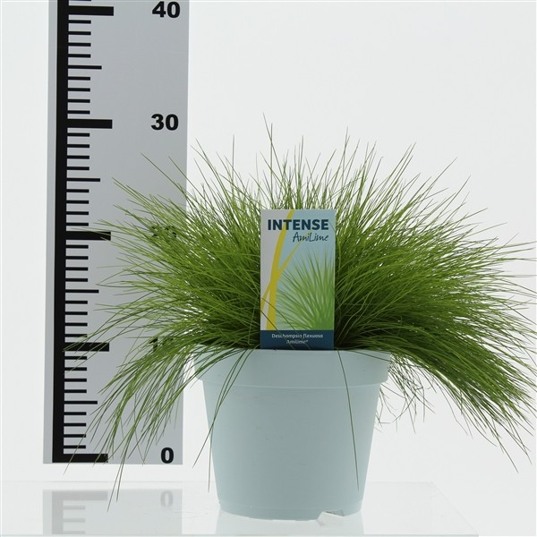 Deschampsia flexuosa 'AmiLime' (Wavy Hair Grass) 17cm Pot
