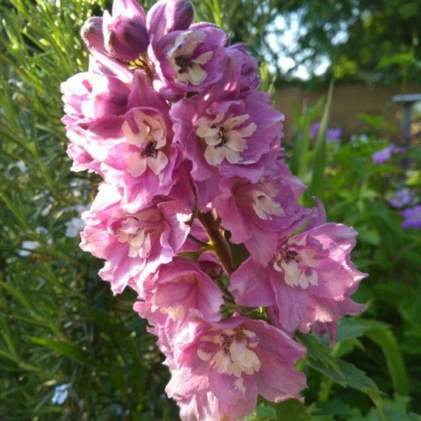 Delphinium 'Lilac Rose - White Bee' 2