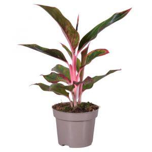 Aglaonema 'Light Pink Star'