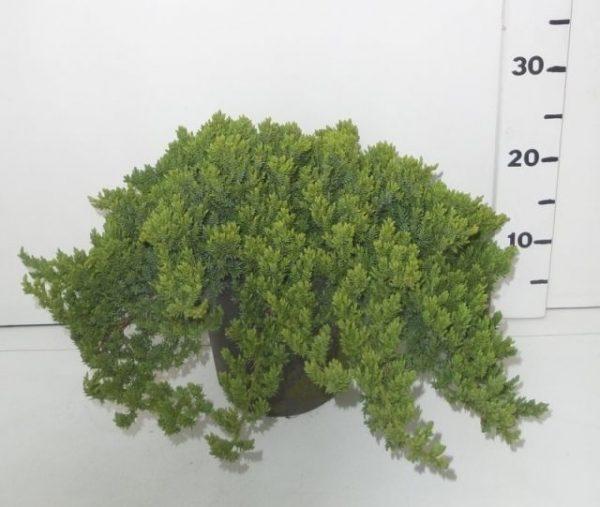Juniperus procumbens 'Nana' (Garden Juniper)