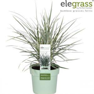 Ophiopogon japonicus 'Silver Mist', Mondo Grass Ophiopogon Japonicus 'Silver Mist