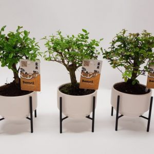 Bonsai Mix In White Ceramic Pot On Metal Legs