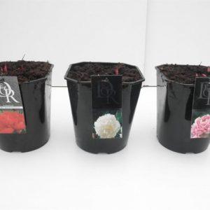 Paeonia lactiflora mix