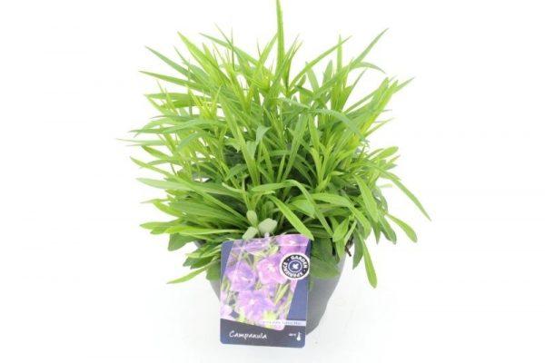 Campanula persicifolia 'Takion Blue'