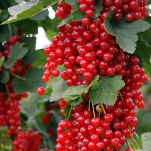 Ribes rubrum 'Rovada' (Red Currant)