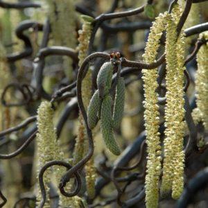 Corylus avellana 'Contorta' 2