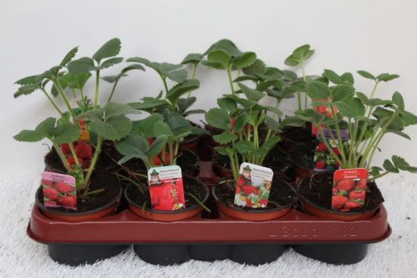 Fragaria mix