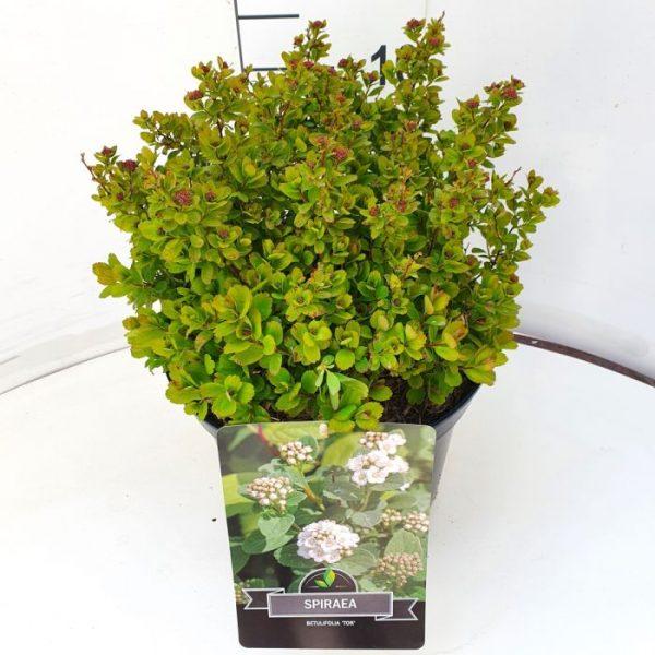 Spiraea betulifolia 'Tor' 2