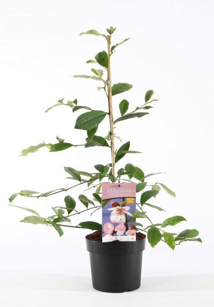 Magnolia fairy blush 2