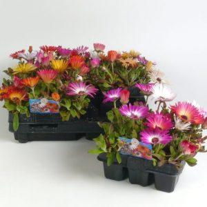 Mesembryanthemum mix