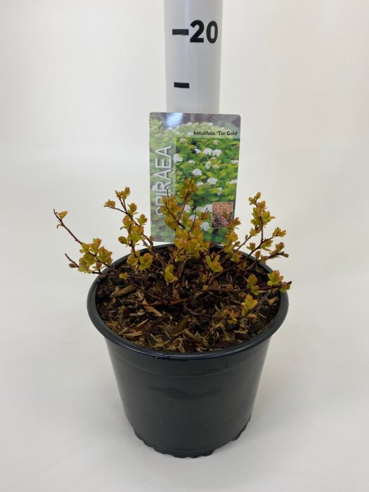 SPIRAEA betulifolia 'Tor Gold' 2