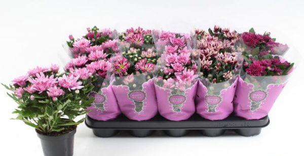 Chrysanthemum pink mix
