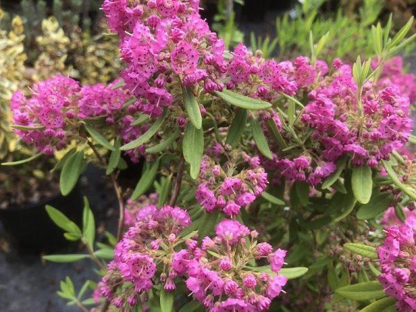 Kalmia angustifolia 'Rubra' 2