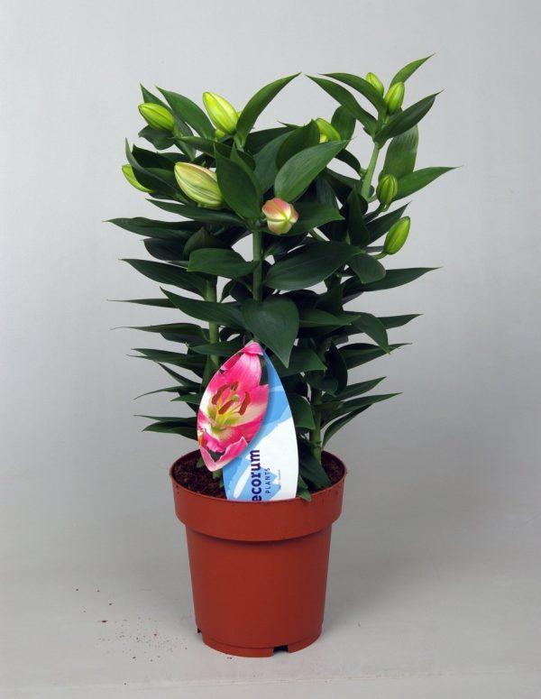 Lilium 'Rascal Souvenir' Pink 3PP (Oriental Lily)