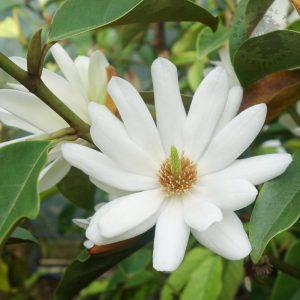 Magnolia 'Fairy White' 2
