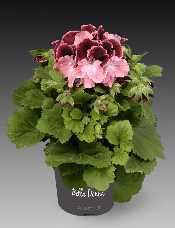 Pelargonium grandiflorum 'Don Camaro'