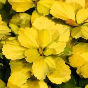SPIRAEA betulifolia 'Tor Gold'