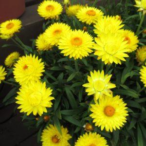 Dreamtime Jumbo Yellow Bracteantha