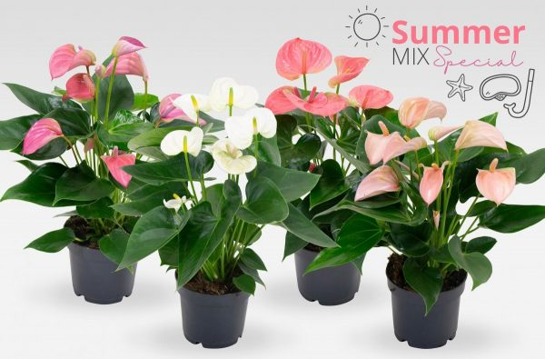Anthurium karma summer mixed