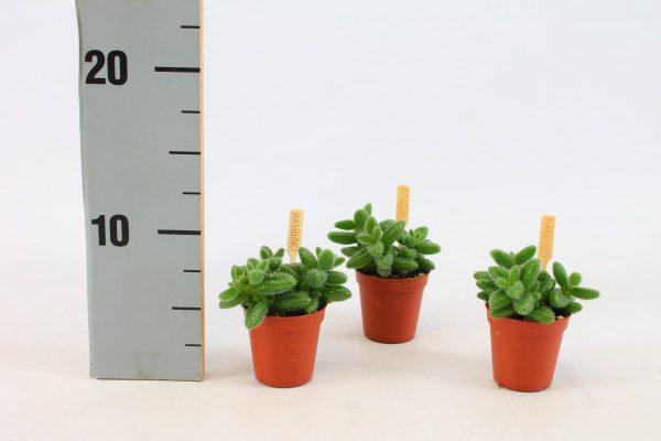Delospermum echinatum mini