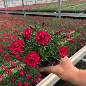 Dianthus early love red