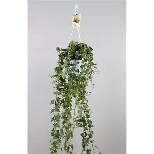 Hedera anna groen