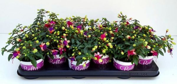 Fuchsia 'Bella Olivia'