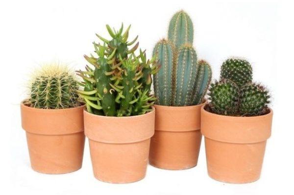 Cactus mix terracotta