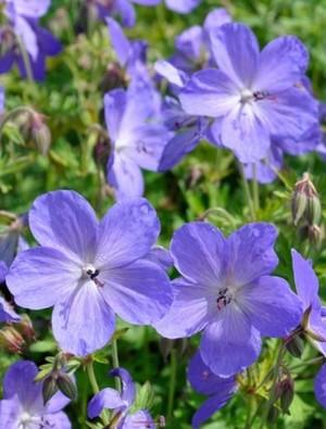 Geranium 'Johnson's Blue' 2