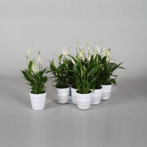 Spathiphyllum Chopin Peace Lily