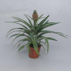 Ananas comosus 'Corona'