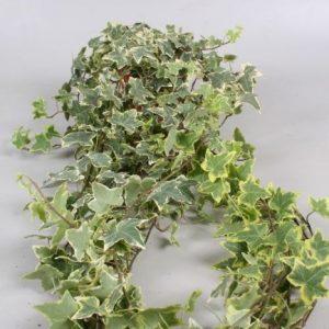 Hedera variegated
