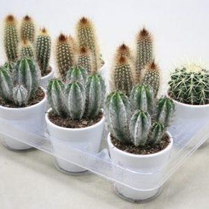 Cactus Mix in 10.5cm White Ceramic Pot