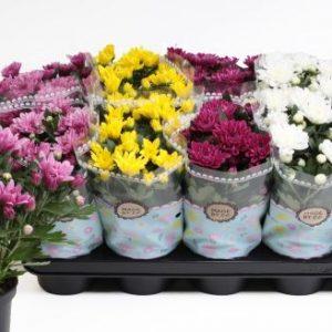Chrysanthemum 'Double' mix