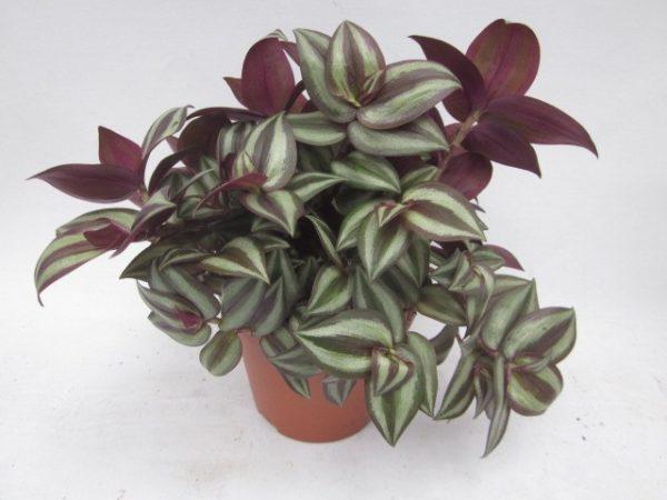 Tradescantia zebrina 'Violet' in 10.5cm Pot