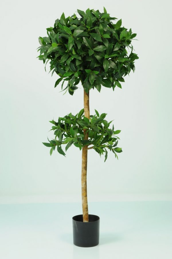 Sweet Bay Tree