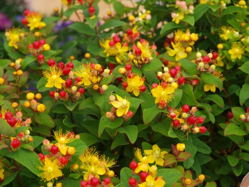 HYPERICUM MIRACLE ATTRACTION 2