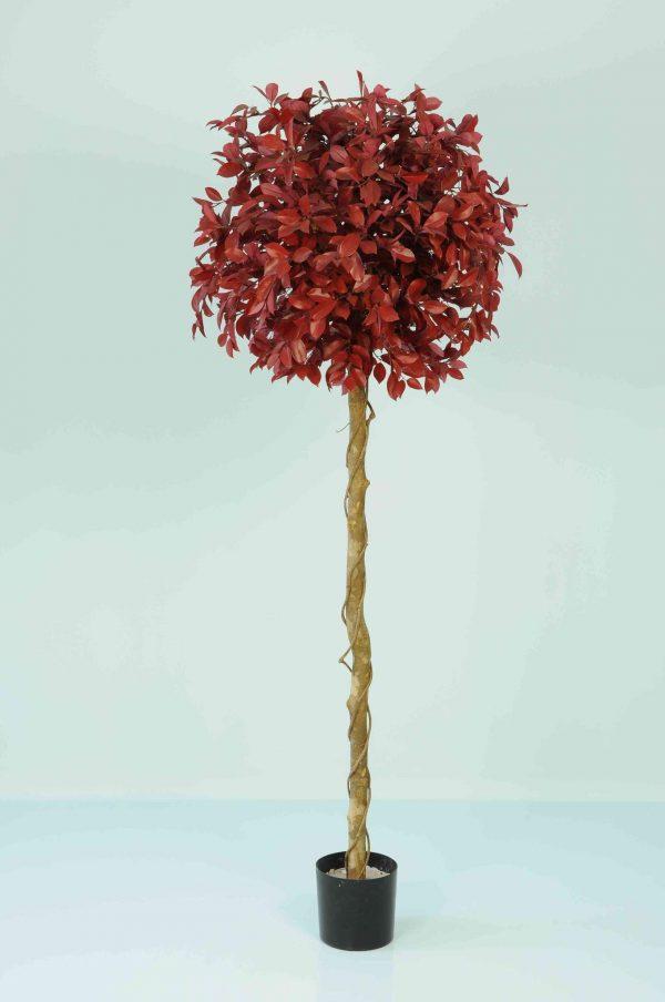 Ficus Retusa Red Tree