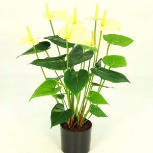 Anthurium Potted Bush - Cream