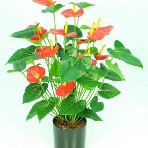 Anthurium Potted Bush-Red